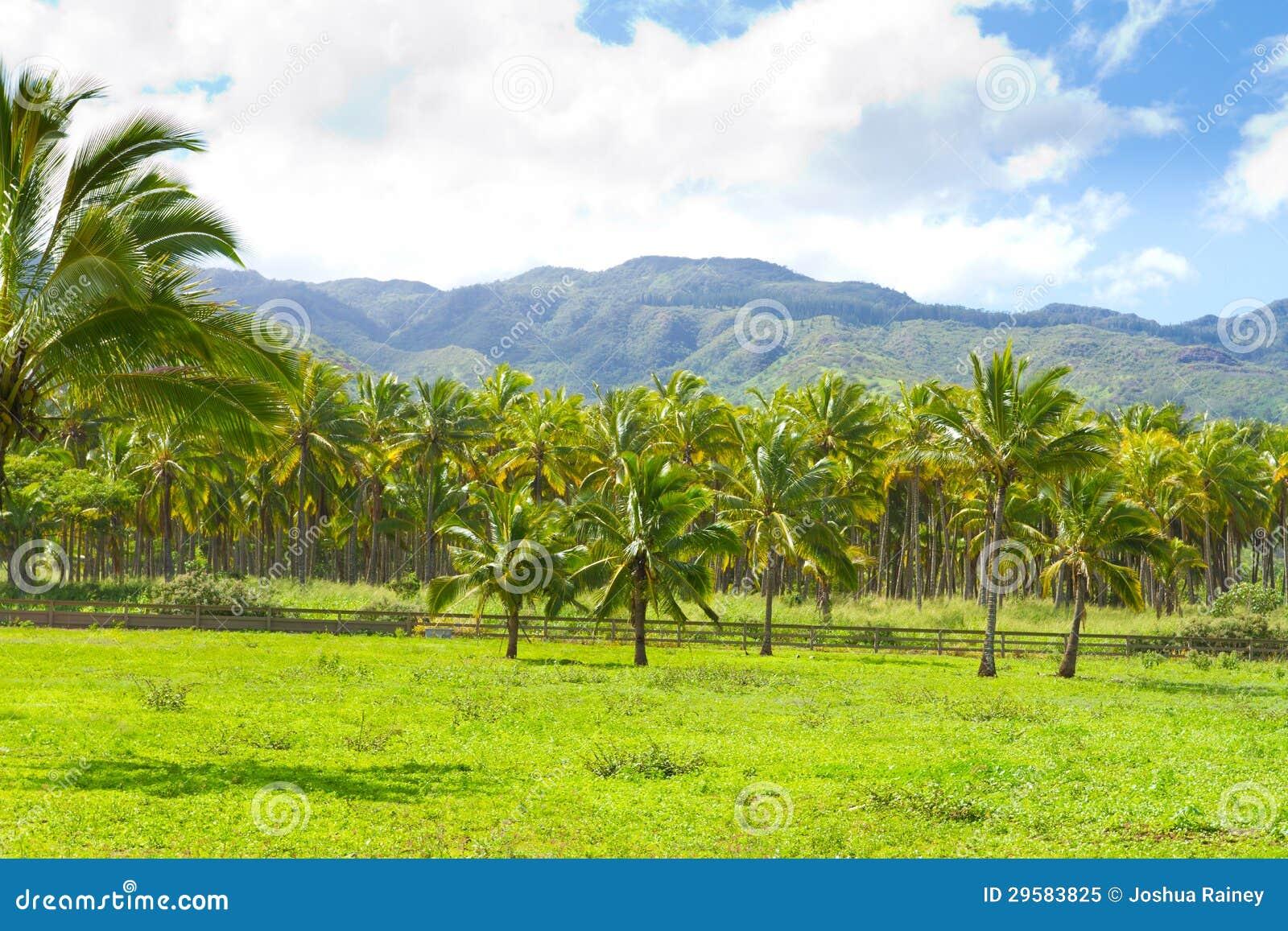 Frangipani spa flowers stock photo image 14654190 -  Hawaii Palm Tree Coconut Farm Royalty Free Stock Photo Image