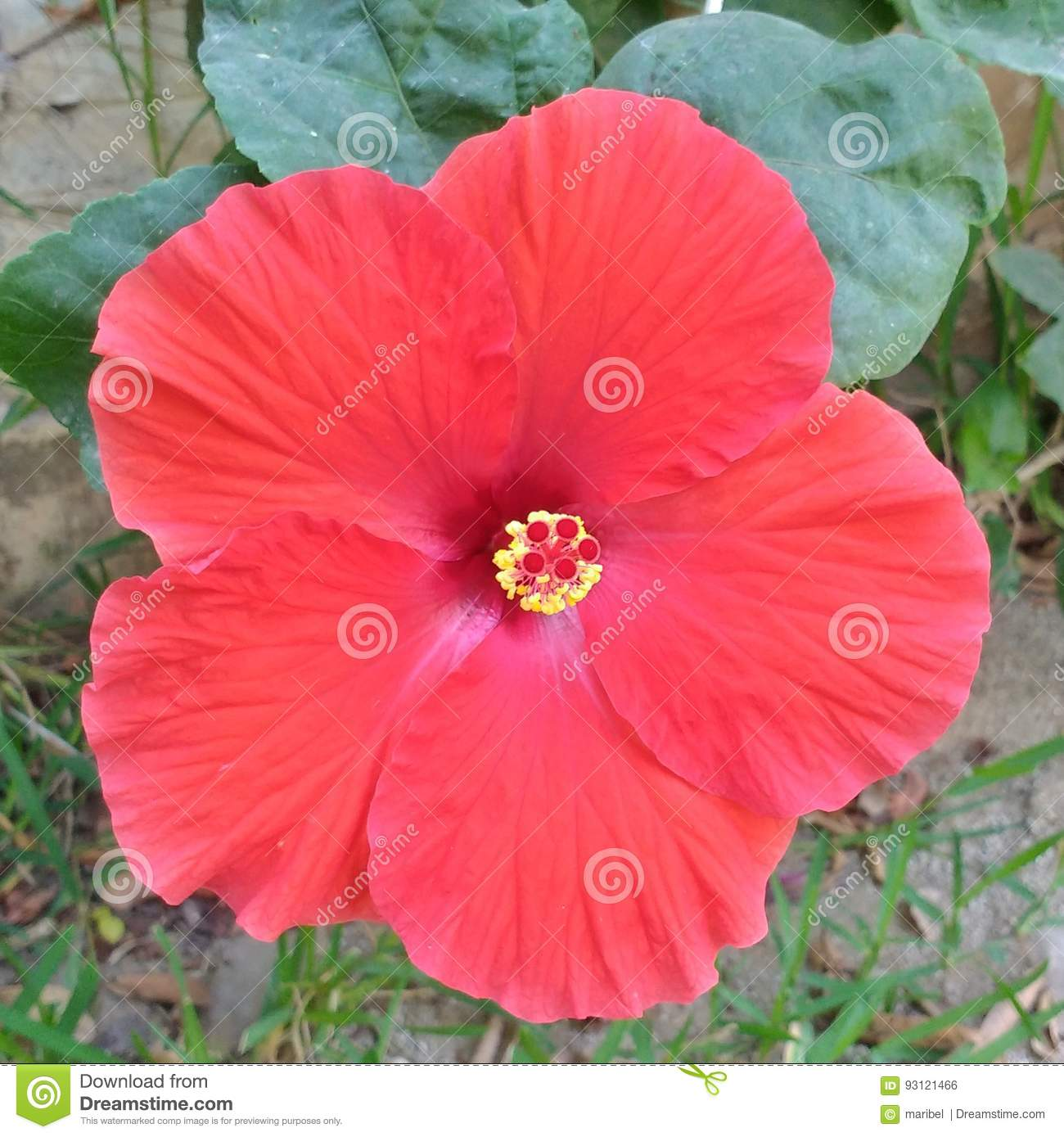 Hawaii Red Flower Stock Photo Image Of Flower Beautiful 93121466