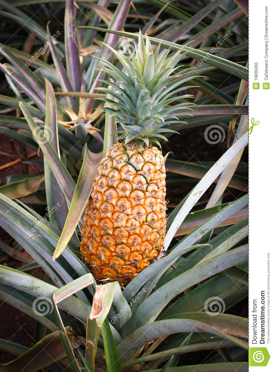 Hawaii ripe pineapple stock photo image 19635060 for Pineapple in the ground