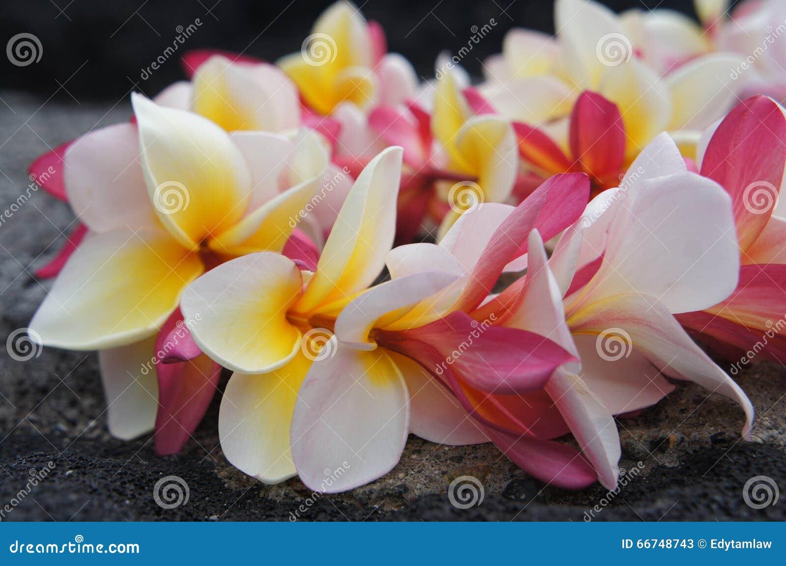 Hawaiian colorful plumeria lei stock image image of yellow white hawaiian colorful plumeria lei izmirmasajfo