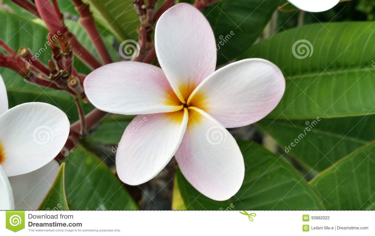 Hawaiian flowers stock photo image of floral flowers 93882022 download hawaiian flowers stock photo image of floral flowers 93882022 izmirmasajfo
