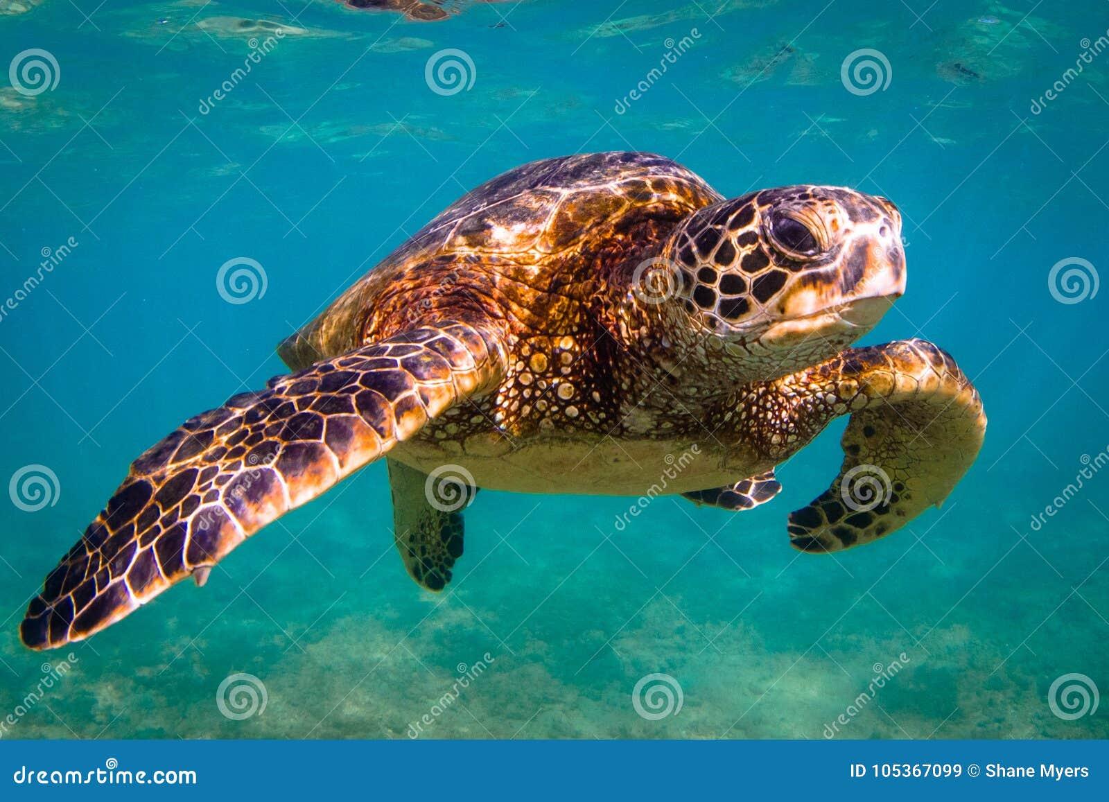 Hawaiian Green Sea Turtle cruising in the warm waters of the Pacific Ocean