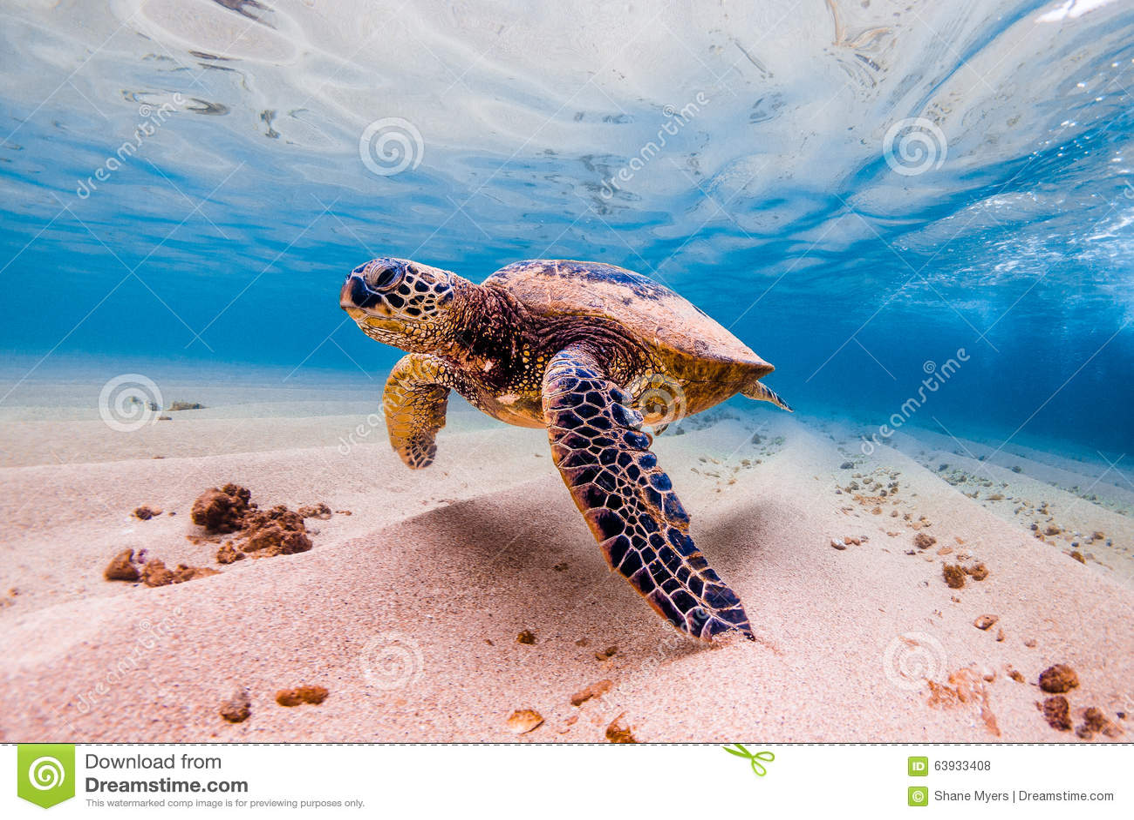 Download Hawaiian Green Sea Turtle stock photo. Image of family - 63933408