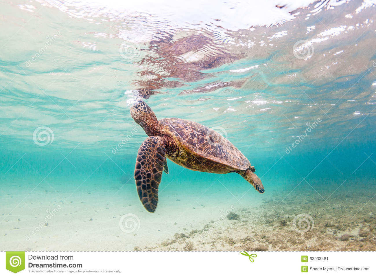 Hawaiian Green Sea Turtle Stock Image. Image Of Background