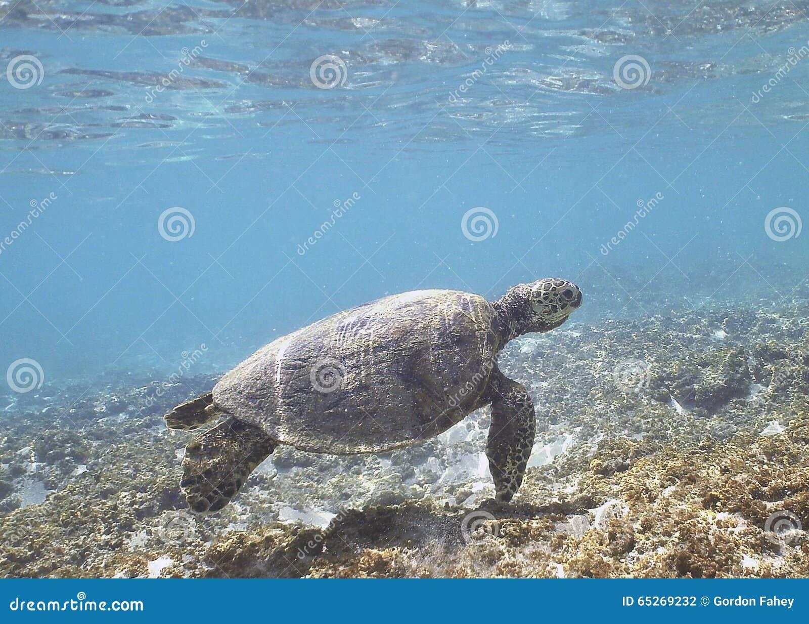 Hawaiian Green Sea Turtle Stock Photo Image Of Fish 65269232