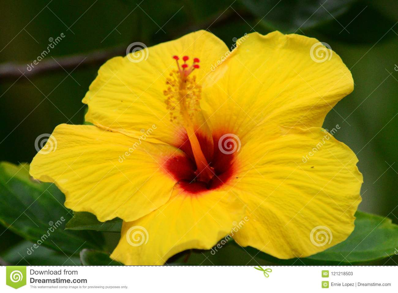 Hawaiian Hibiscus Stock Image Image Of Flower Hawaii 121218503