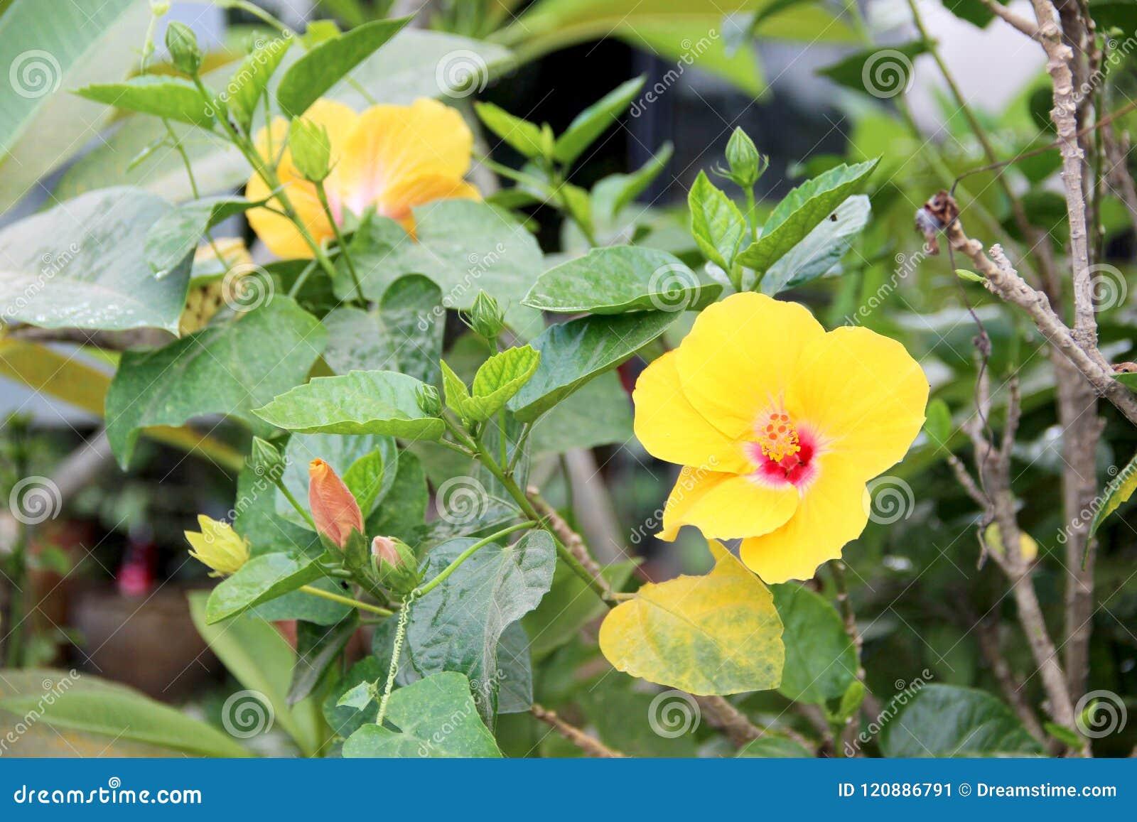 Hawaiian hibiscus stock image image of native species 120886791 hawaiian hibiscus izmirmasajfo
