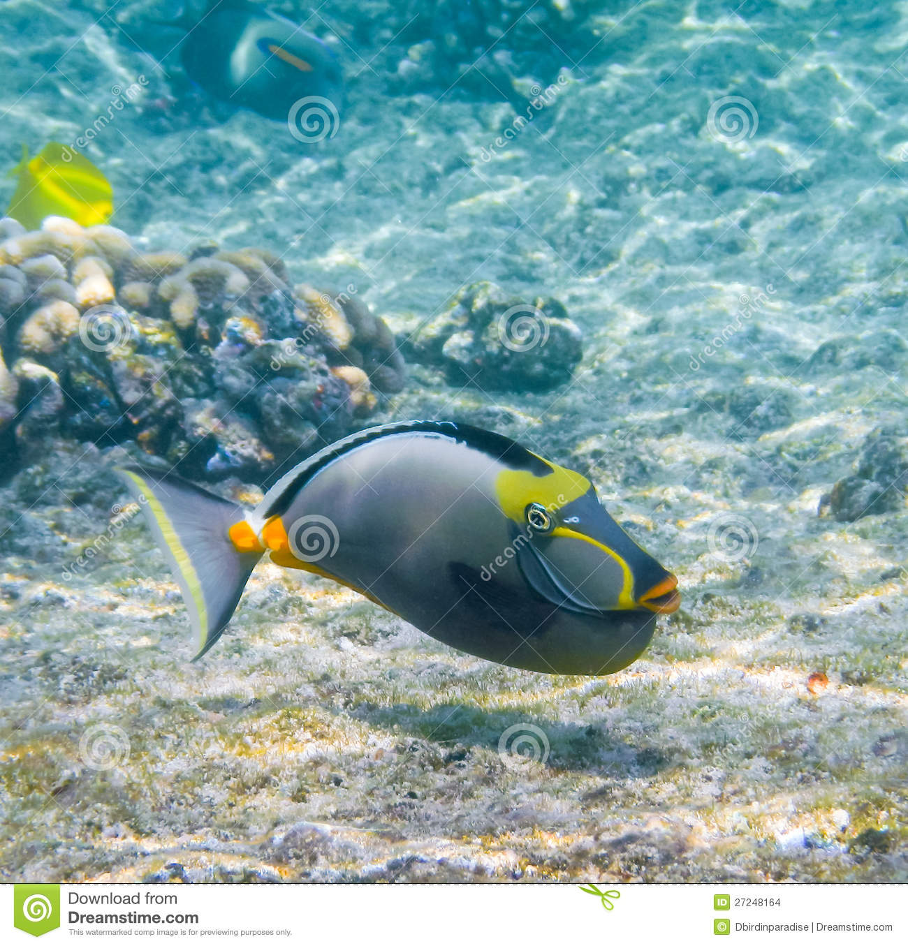 Freshwater fish in hawaii - Hawaiian Lipstick Tang Fish