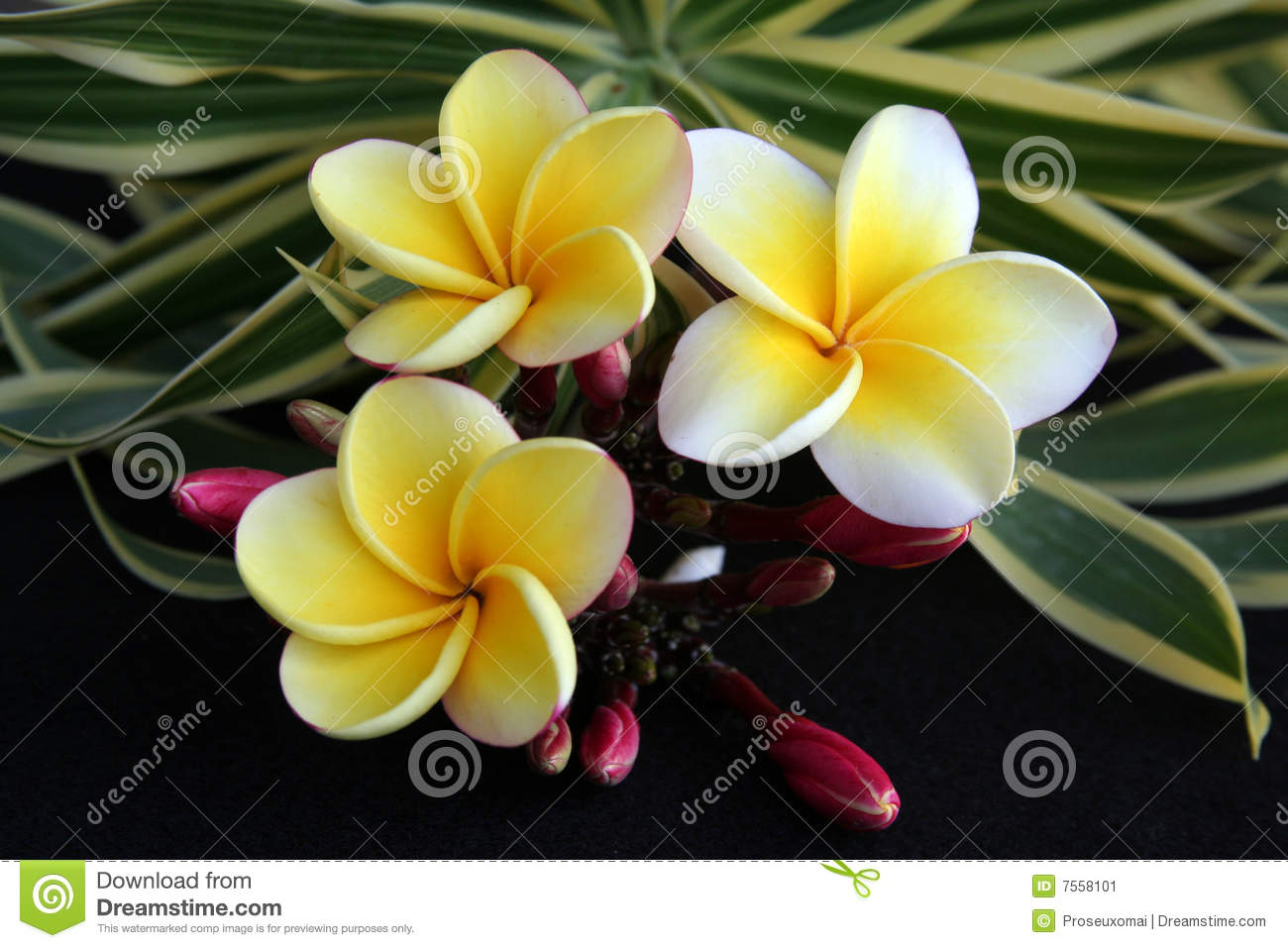 Hawaiian plumeria flower stock image image of delicate 7558101 download comp izmirmasajfo