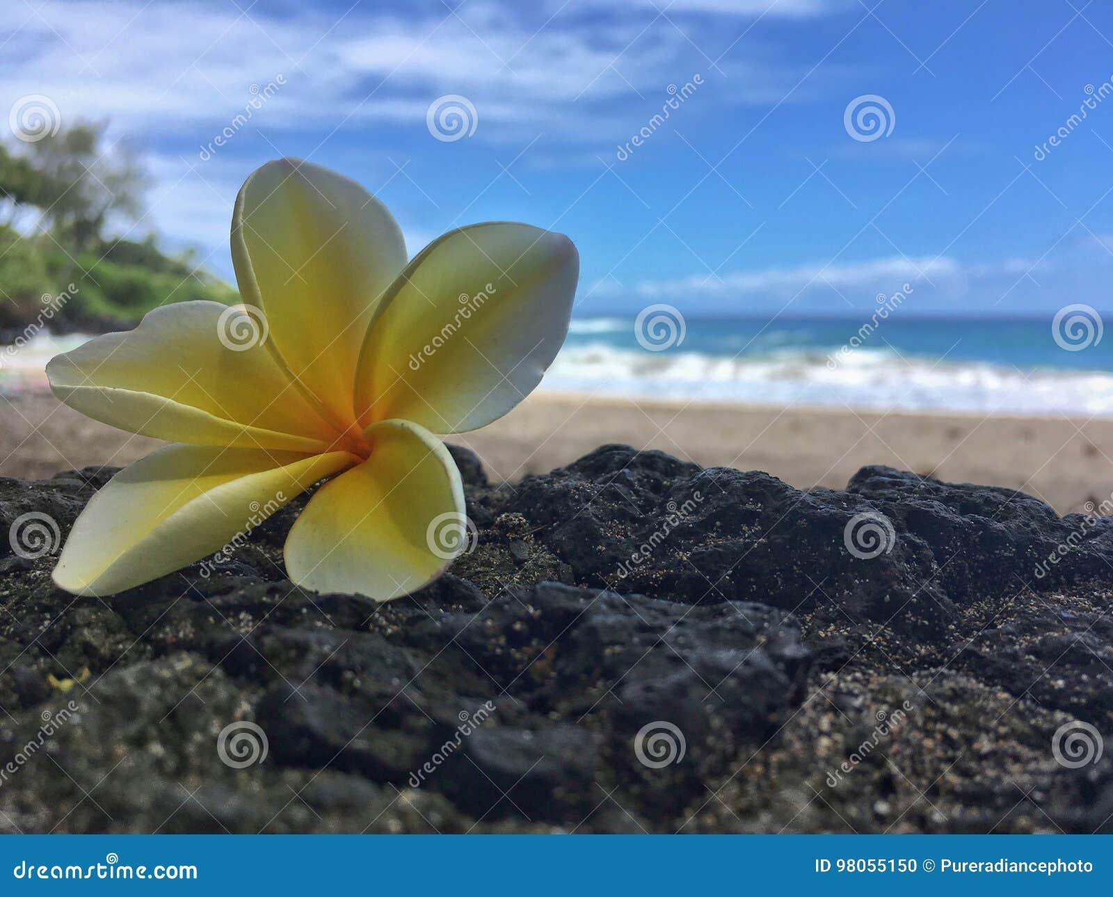 Hawaiian Plumeria Flower On The Beach Stock Photo Image Of
