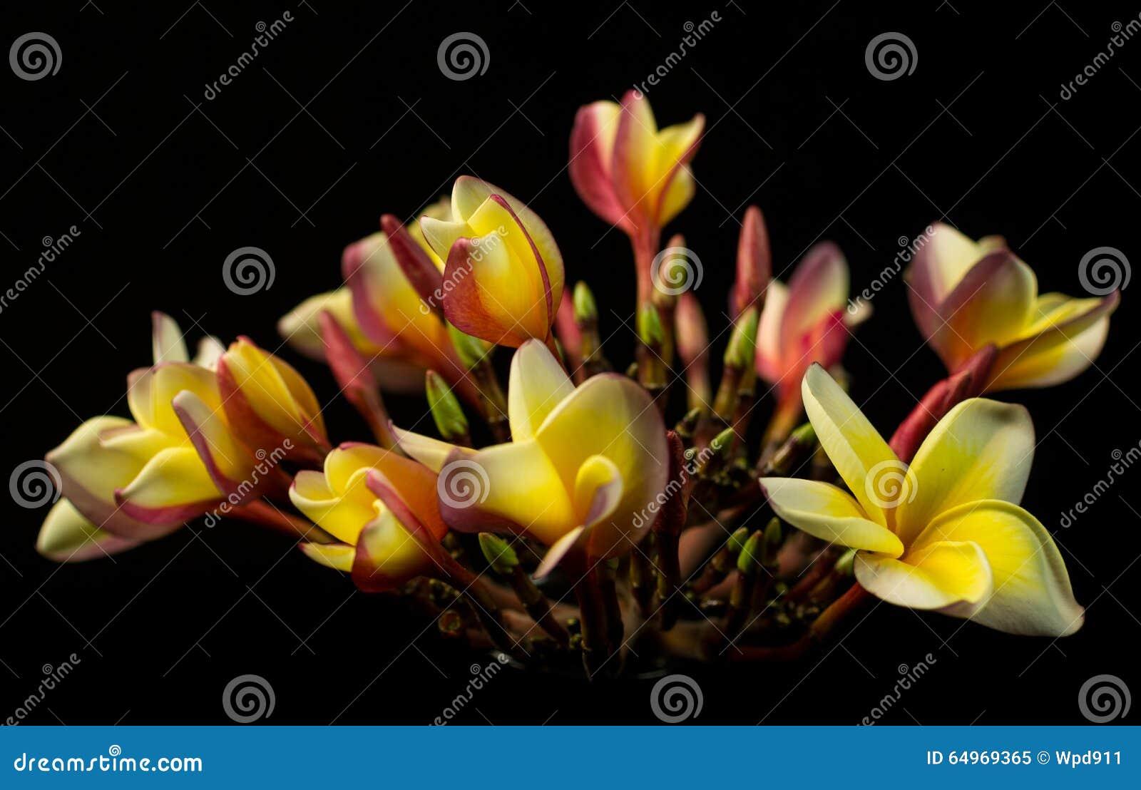 Hawaiian plumeria flower stock image image of bloom 64969365 download hawaiian plumeria flower stock image image of bloom 64969365 izmirmasajfo