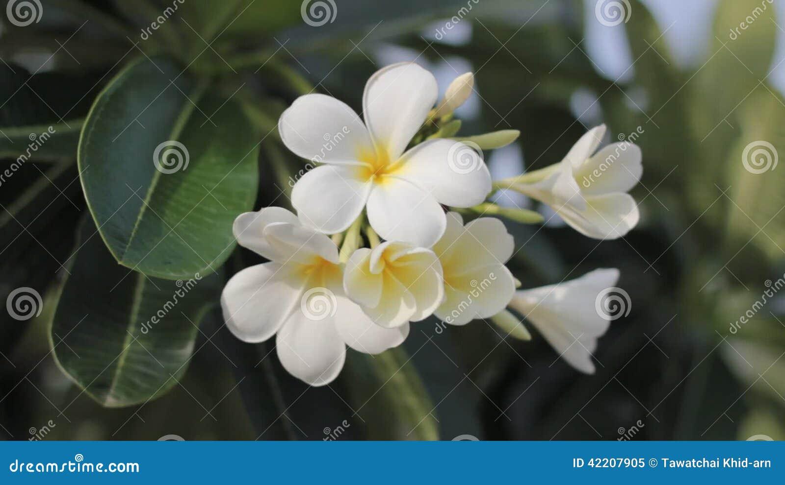 Hawaiian Plumeria Flowers Used To Make Aloha Leis Stock Video