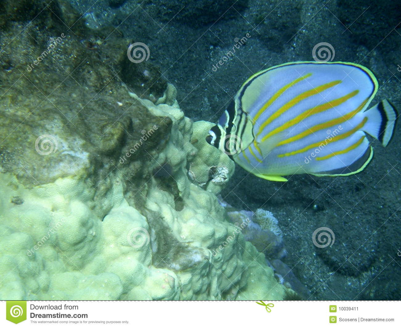 Hawaiian reef fish stock image image 10039411 for Hawaiian reef fish
