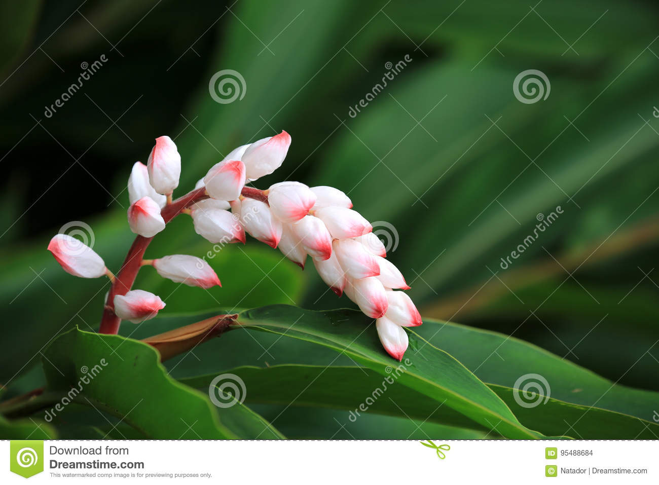 Hawaiian shell ginger flower stock photo image of hawaiian download hawaiian shell ginger flower stock photo image of hawaiian flowers 95488684 izmirmasajfo