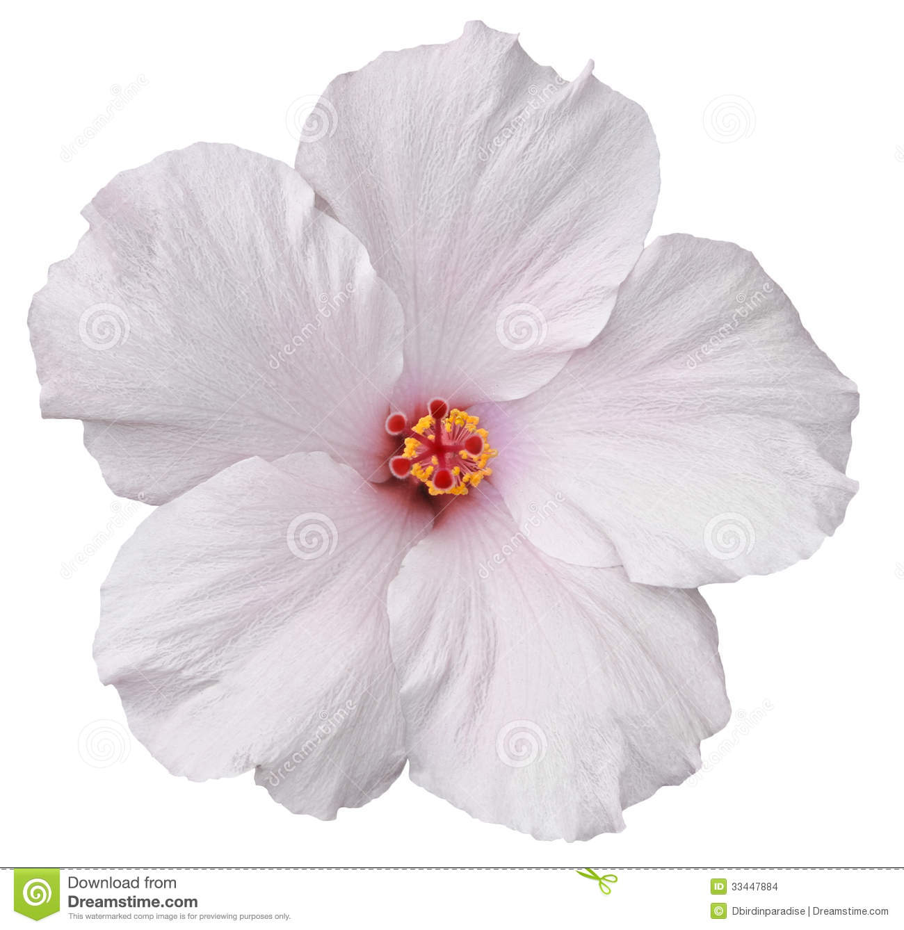 Hawaiian White Hibiscus Isolated On White Stock Photo Image Of