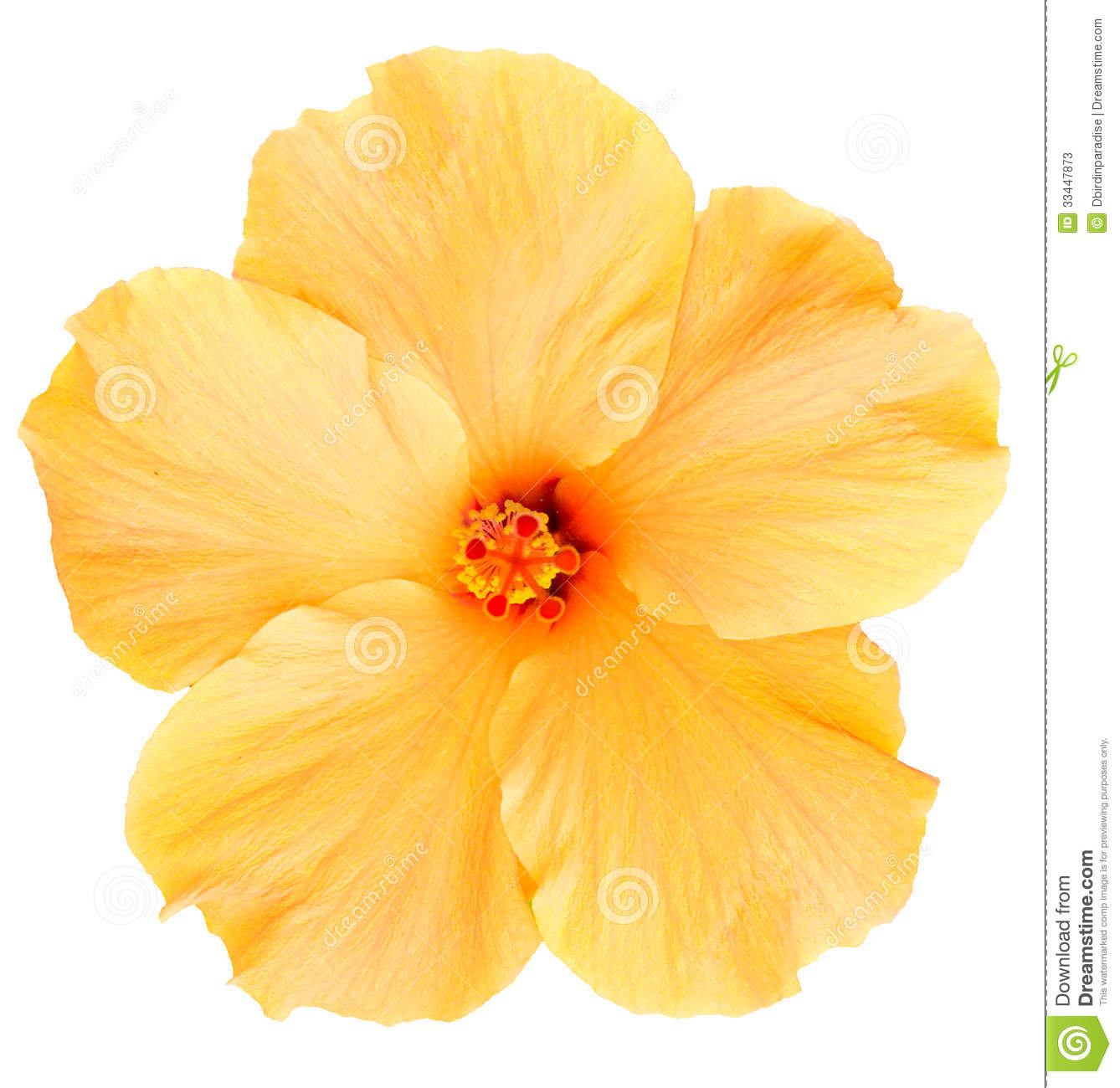 Hawaiian Yellow Hibiscus Isolated On White Stock Image Image Of