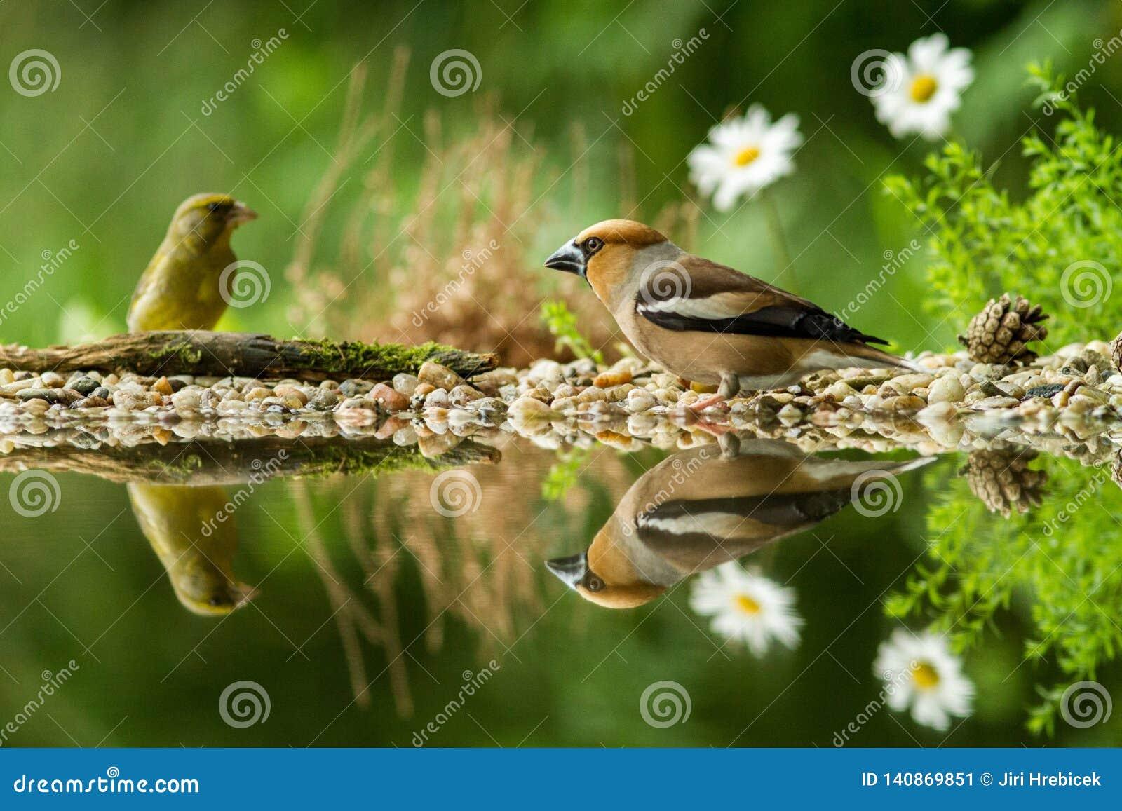 Hawfinch en groene vinkzitting op korstmoskust van watervijver in bos met mooie bokeh en bloemen op achtergrond, Duitsland