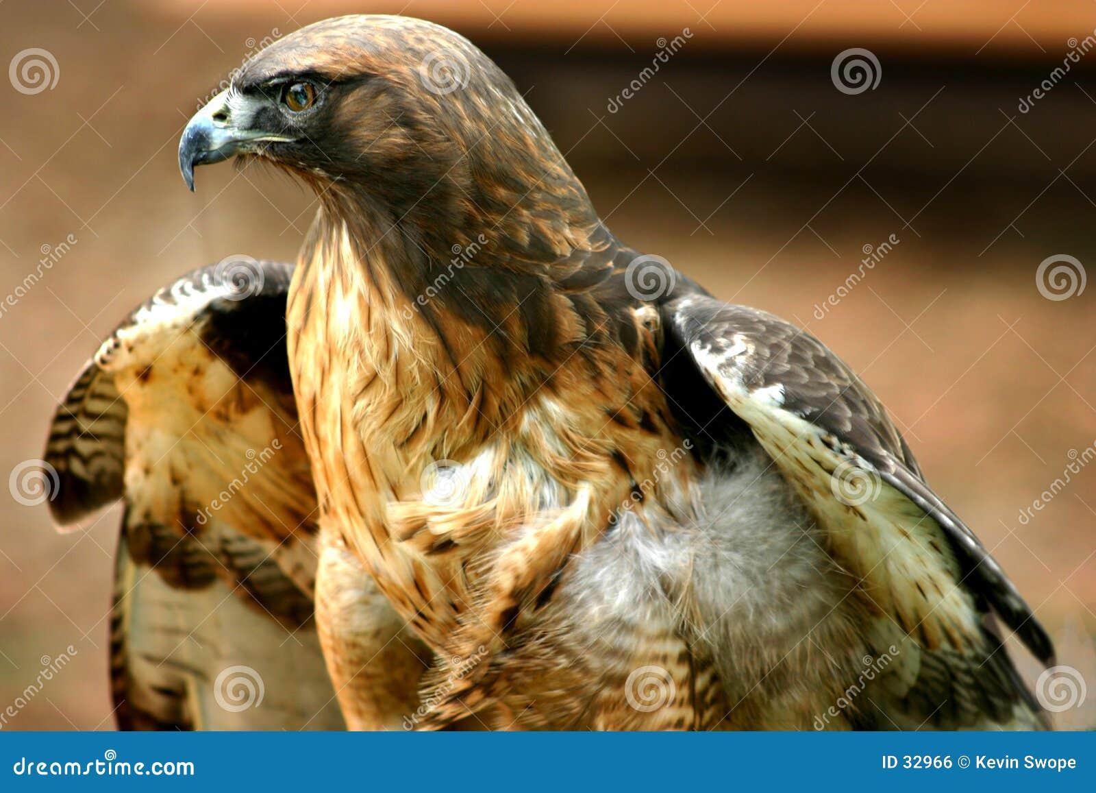 Download Hawk 3 zdjęcie stock. Obraz złożonej z czerwień, dziki, ptak - 32966