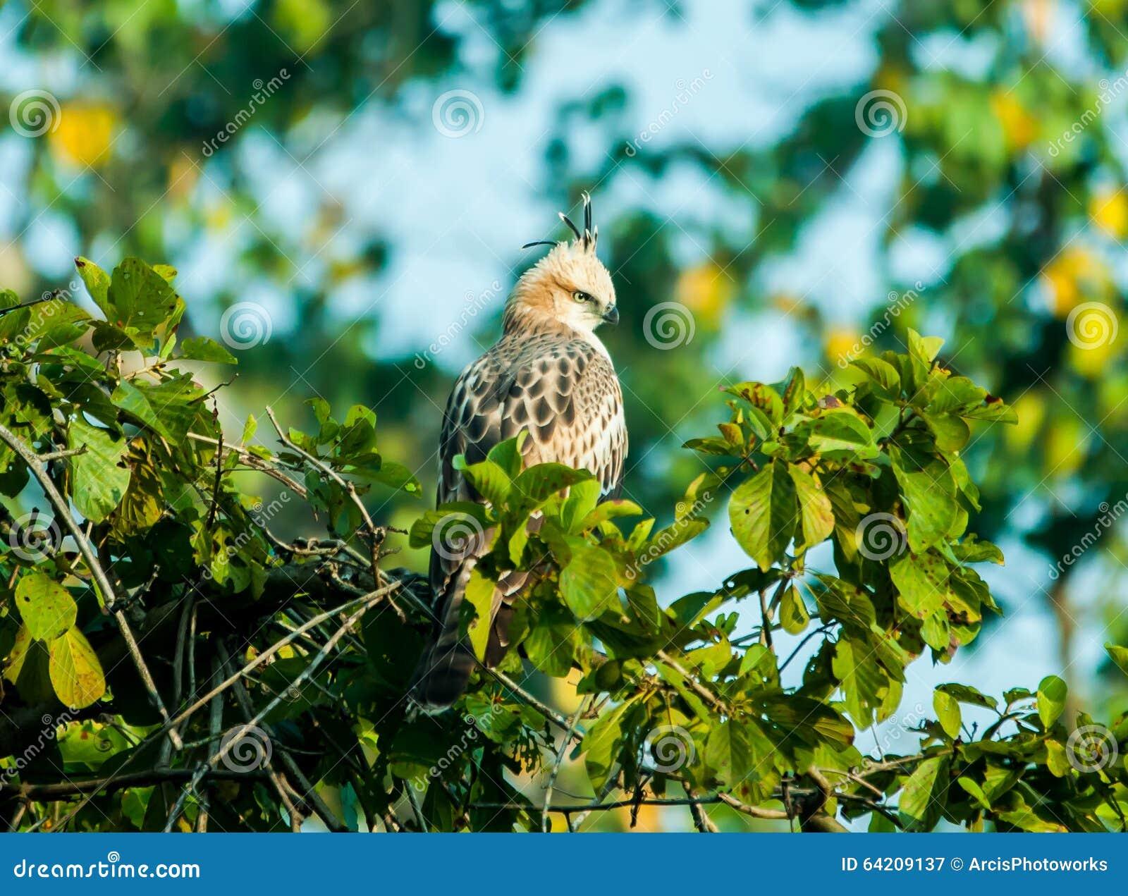 Hawk Eagle con cresta