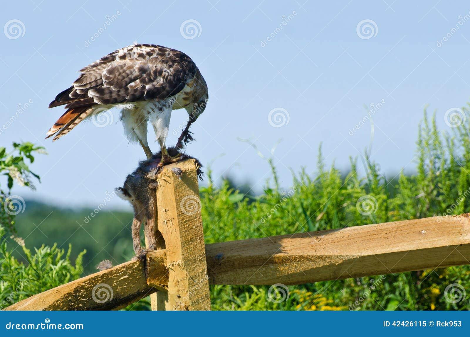 Hawk Eating Captured Rabbit Rojo-atado