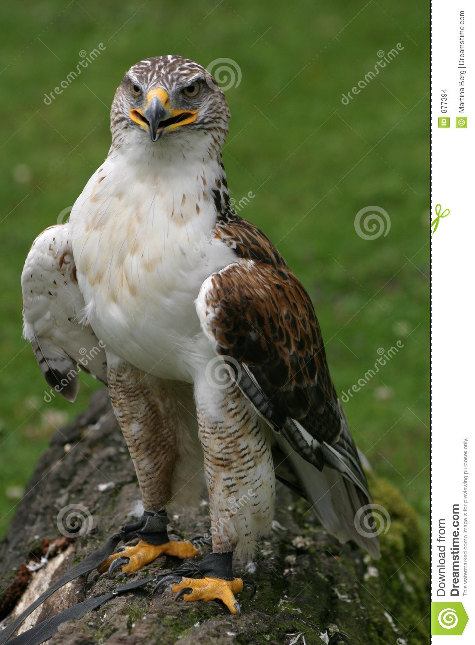 Hawk ferruginous