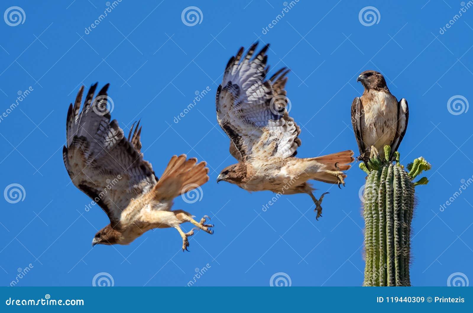 Hawk Flying munito rosso fuori da un cactus del saguaro