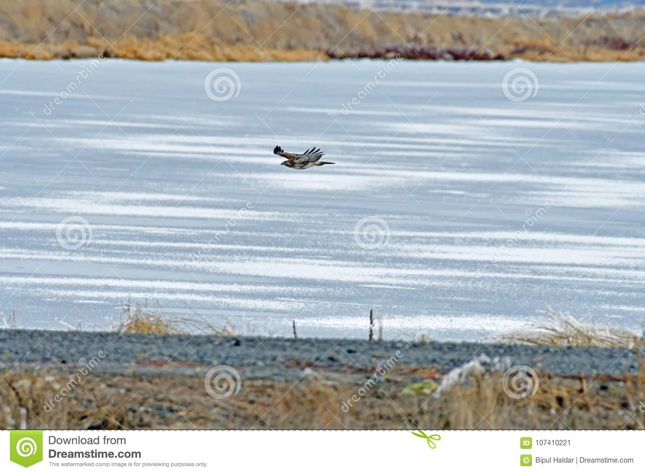 A Hawk flying over the river