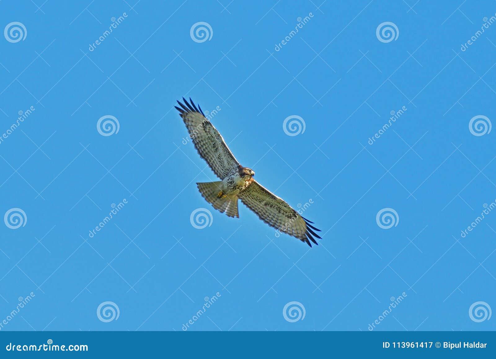 A Hawk Hovering