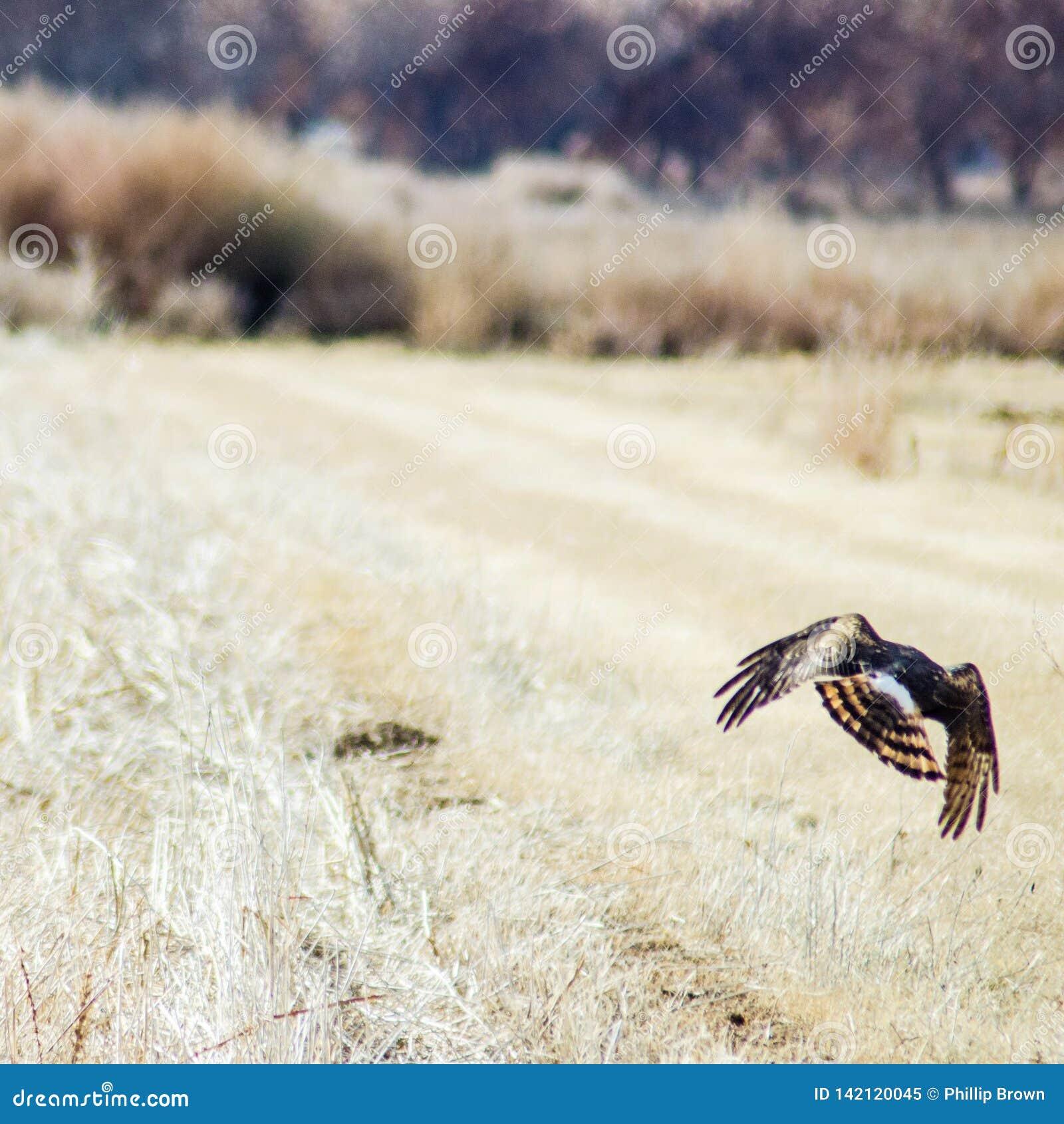 Hawk Hunting dans la réserve de Bosque del Apache