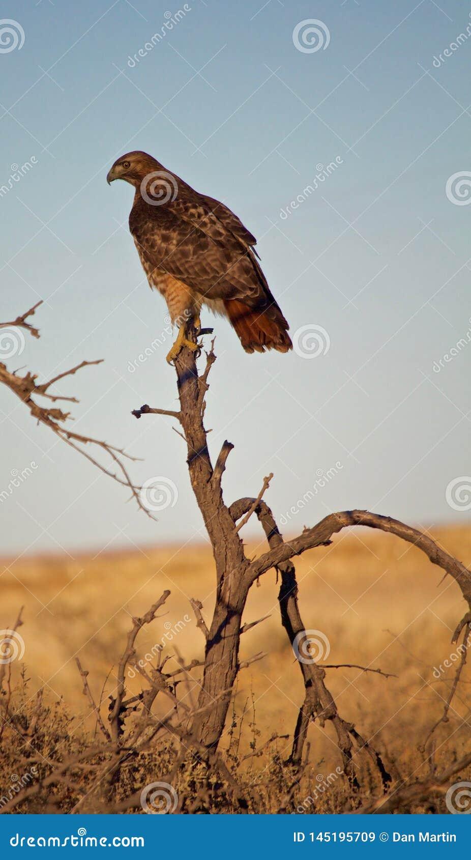 Hawk Perched coup? la queue par rouge