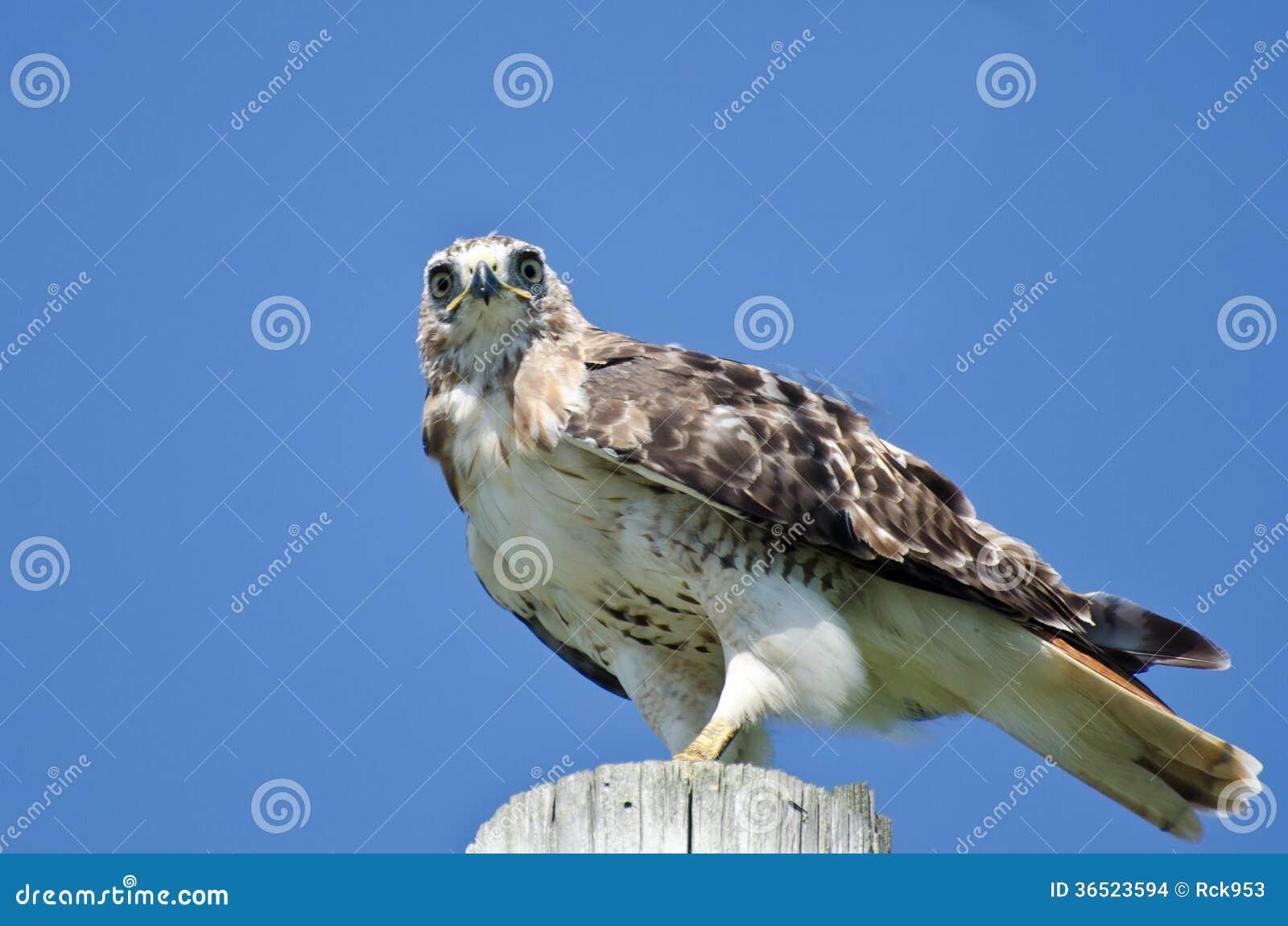 Hawk Perched Rouge-coupé la queue sur un Polonais