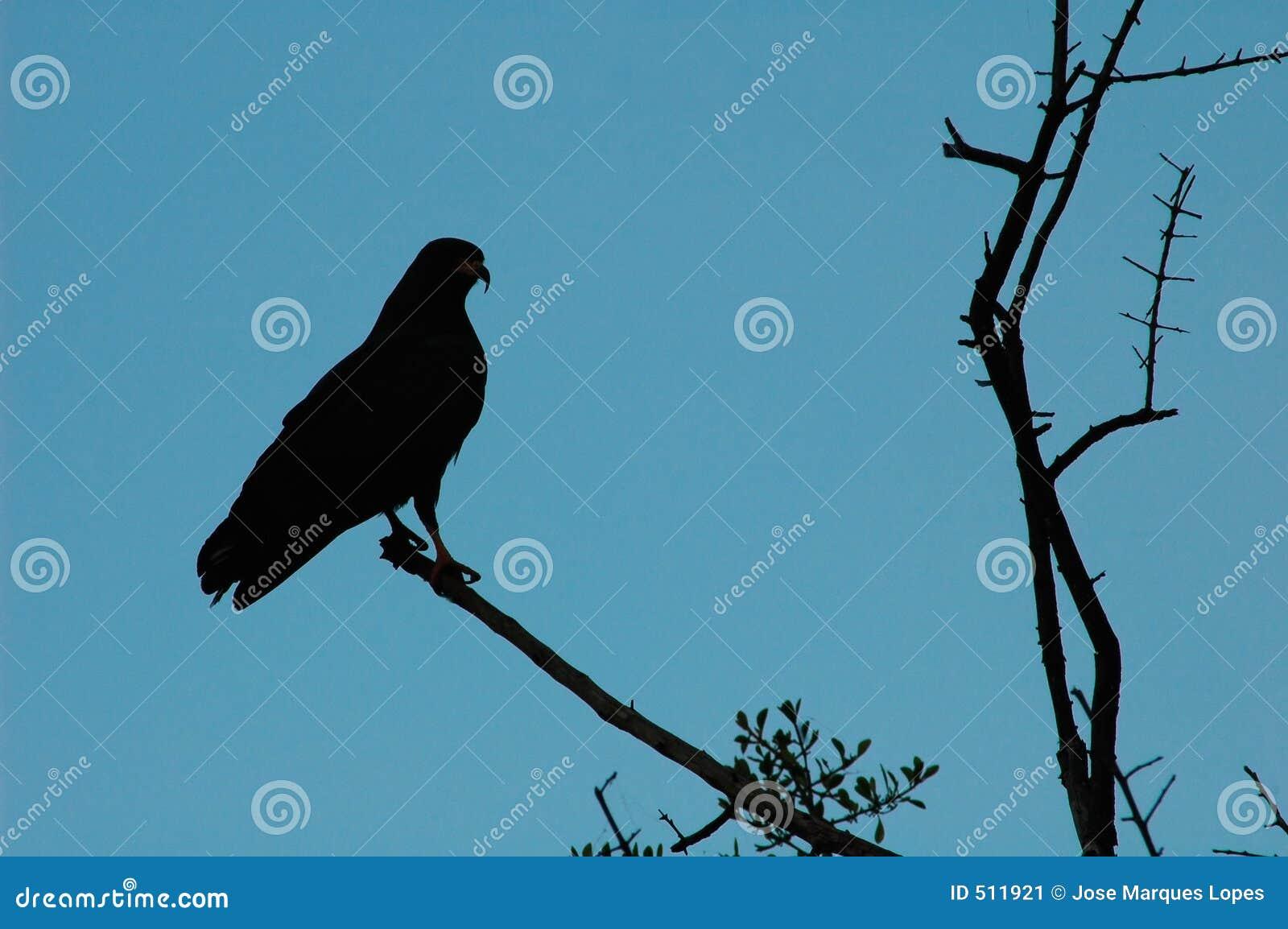 hawk silhouette stock image image 511921 hawk clipart green hawk clipart boarder