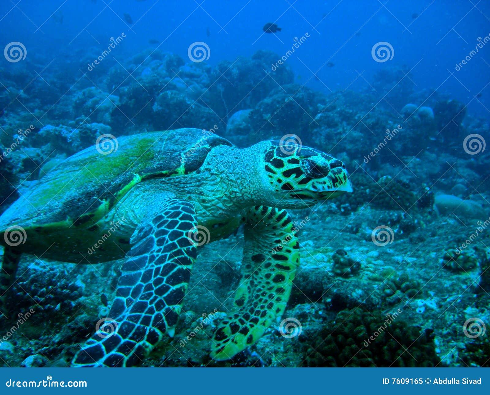 Hawksbil乌龟
