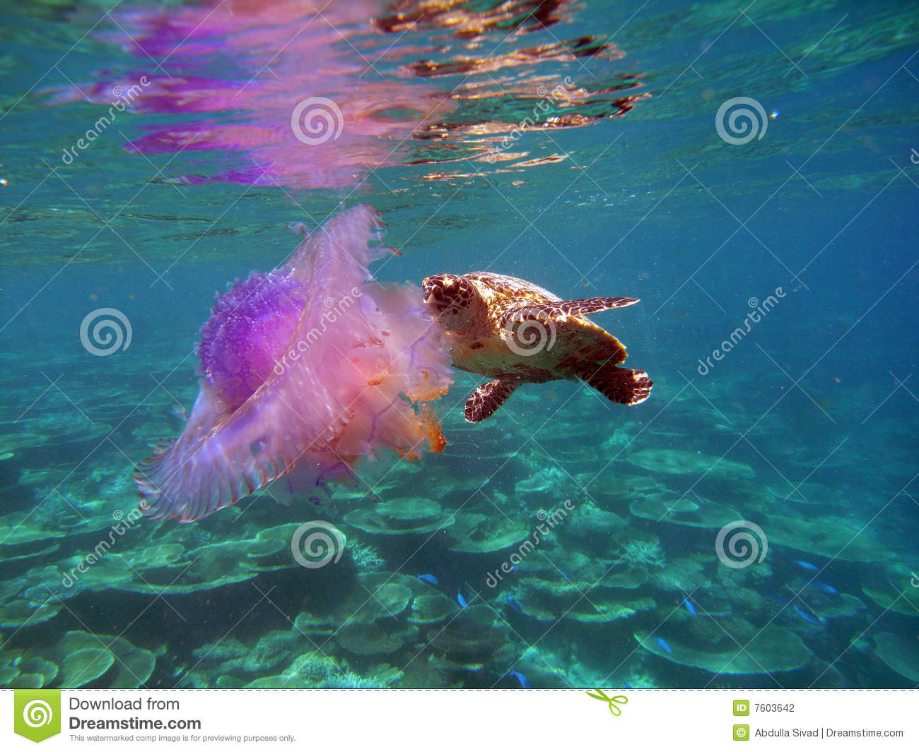 Hawksbill Turtle With ...