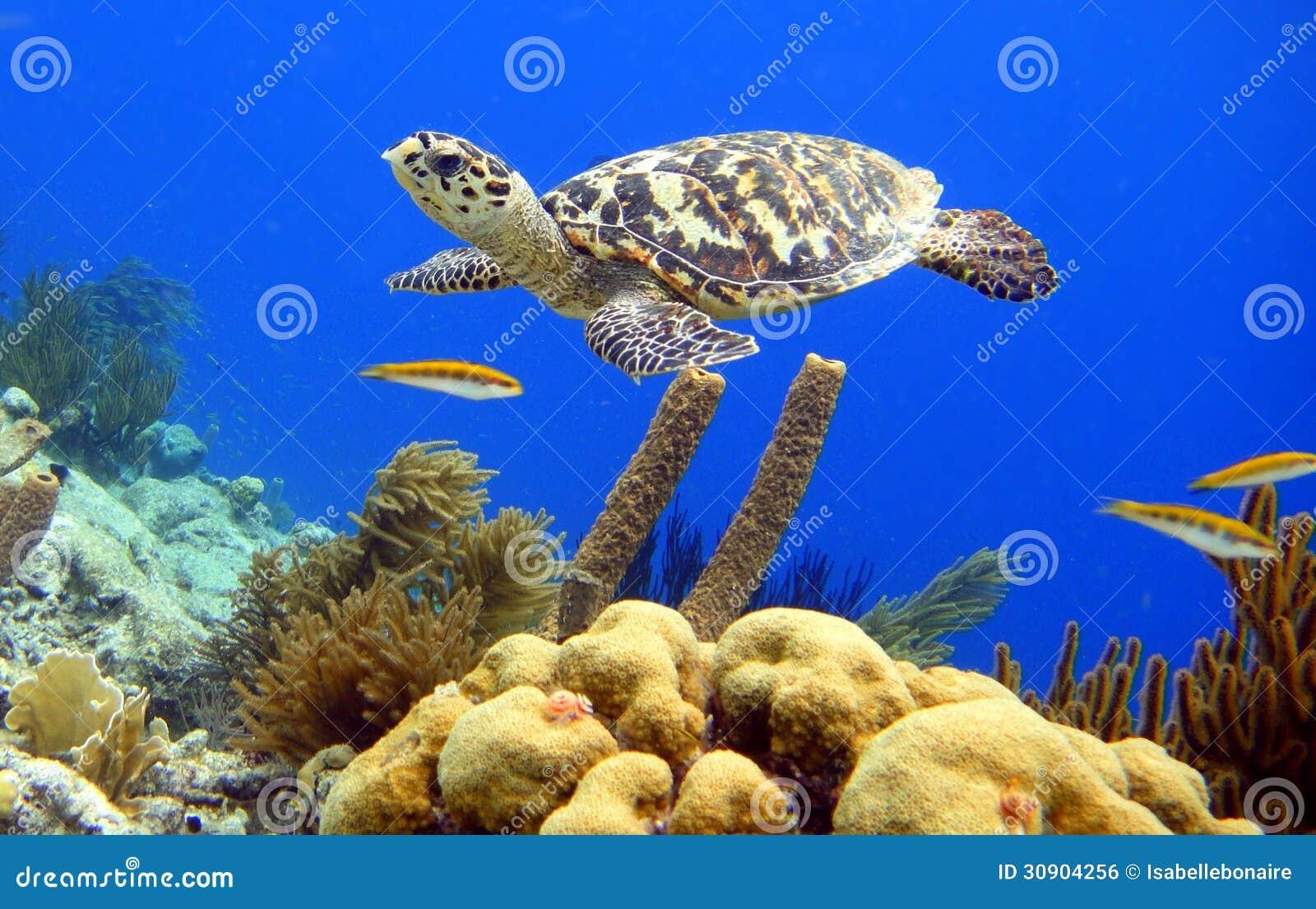 Hawksbill żółw