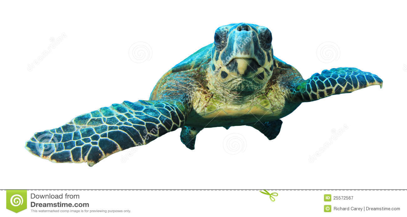Hawksbill żółwia biel