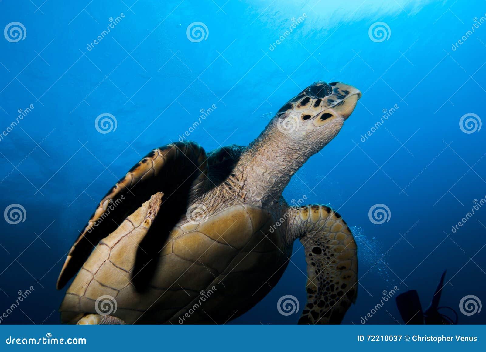 Hawksbill Denny żółw (Eretmochelys imbricata)