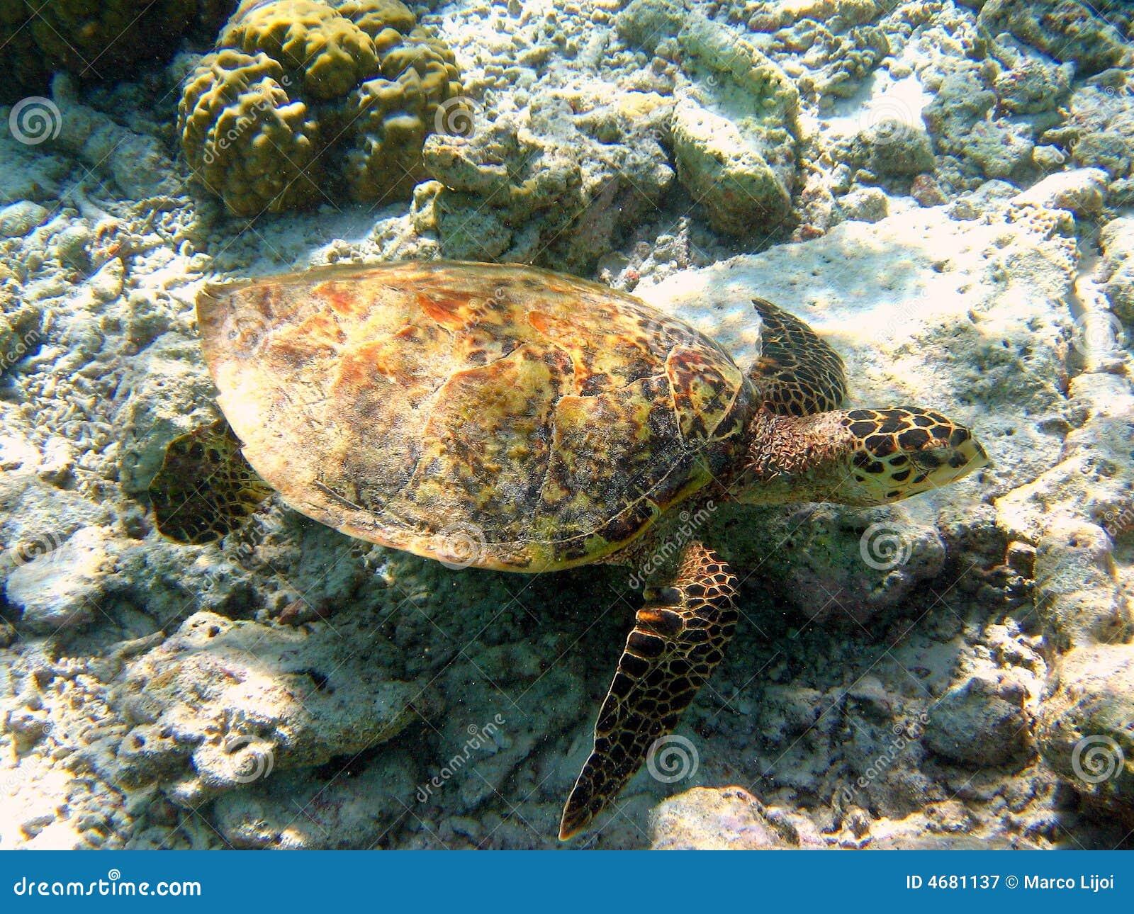 Hawksbill maldivian χελώνα