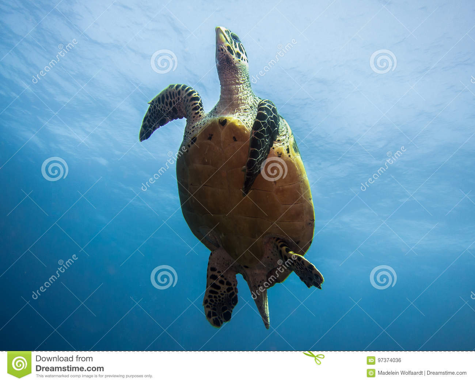 hawksbillmeeresschildkröte die unter wasser von unten