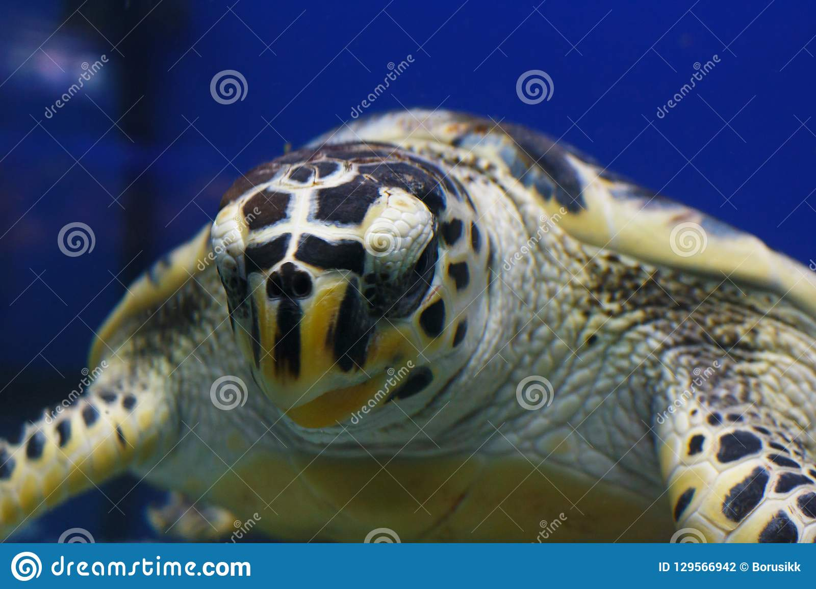 Hawksbill sea turtle Eretmochelys imbricata, also known as Bissa in their habitat