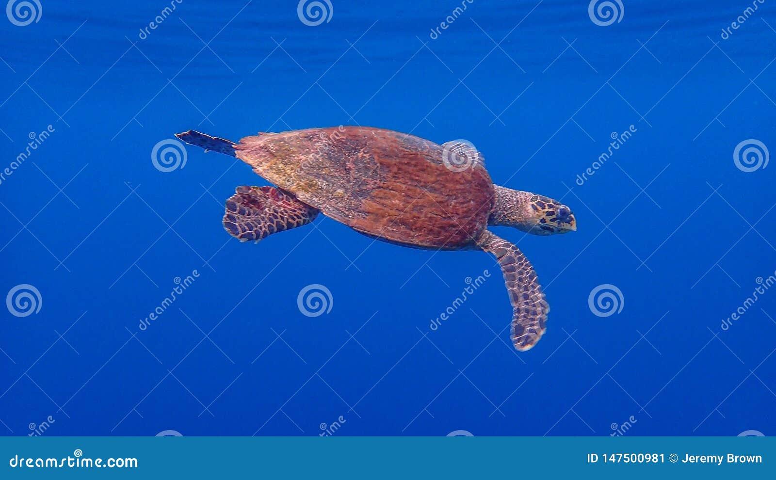 Hawksbill sea turtle, Eretmochelys imbricata. Blue water background, Raja Ampat