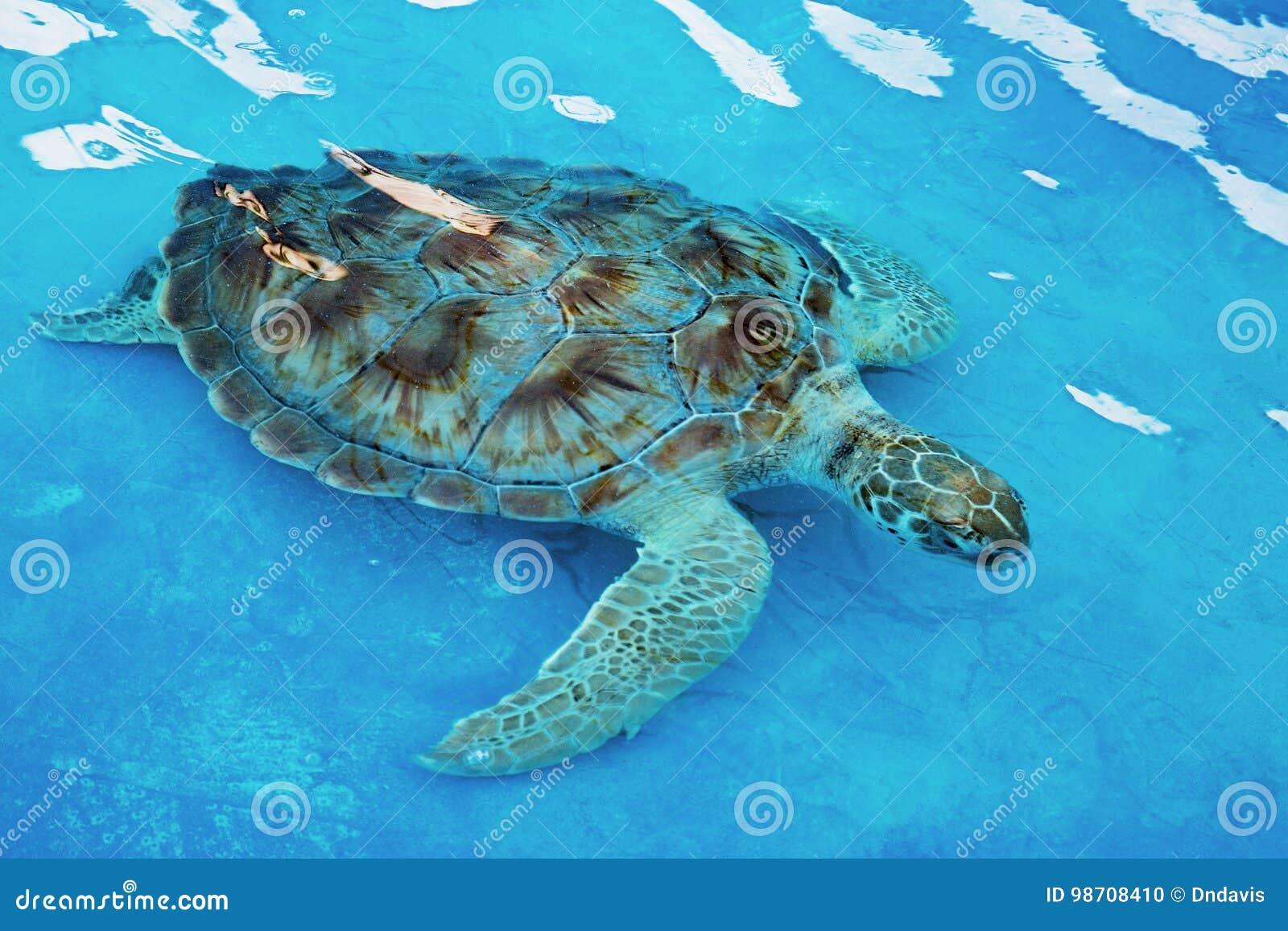 Hawksbill sea turtle Eretmochelys imbricata is critically endangered sea turtle