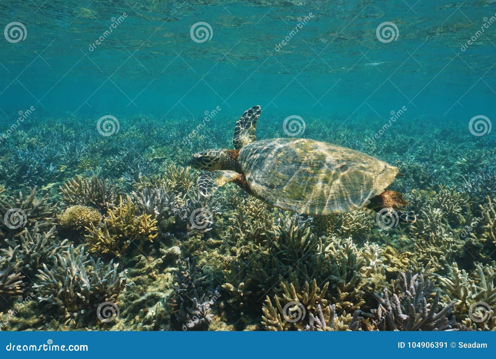 A hawksbill sea turtle Eretmochelys imbricata