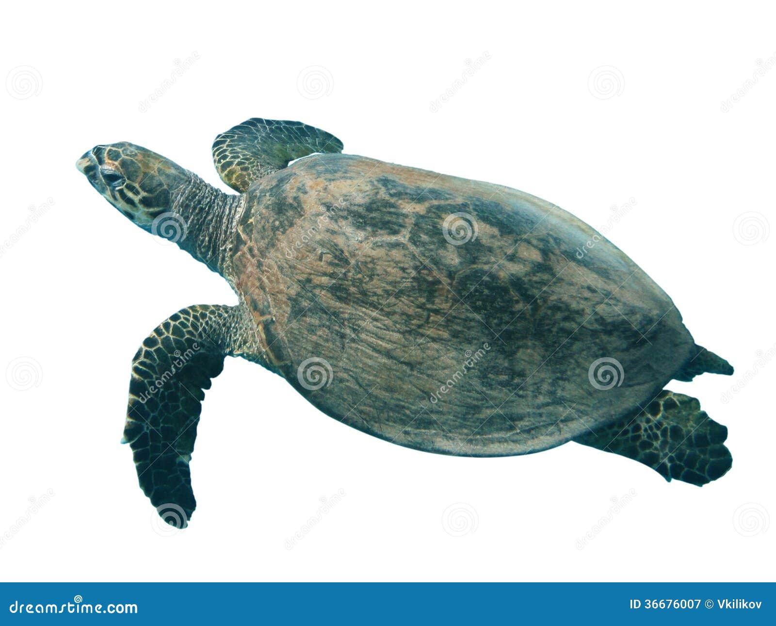 turtle white background - photo #18
