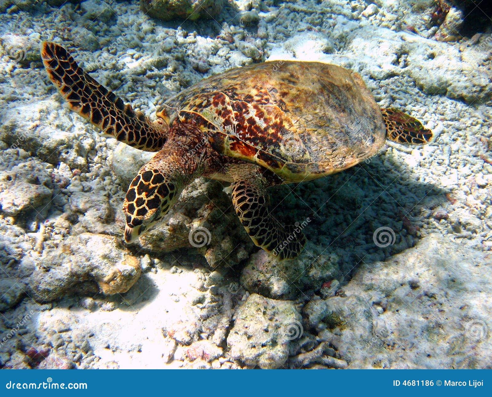 Hawksbill Turtle #3