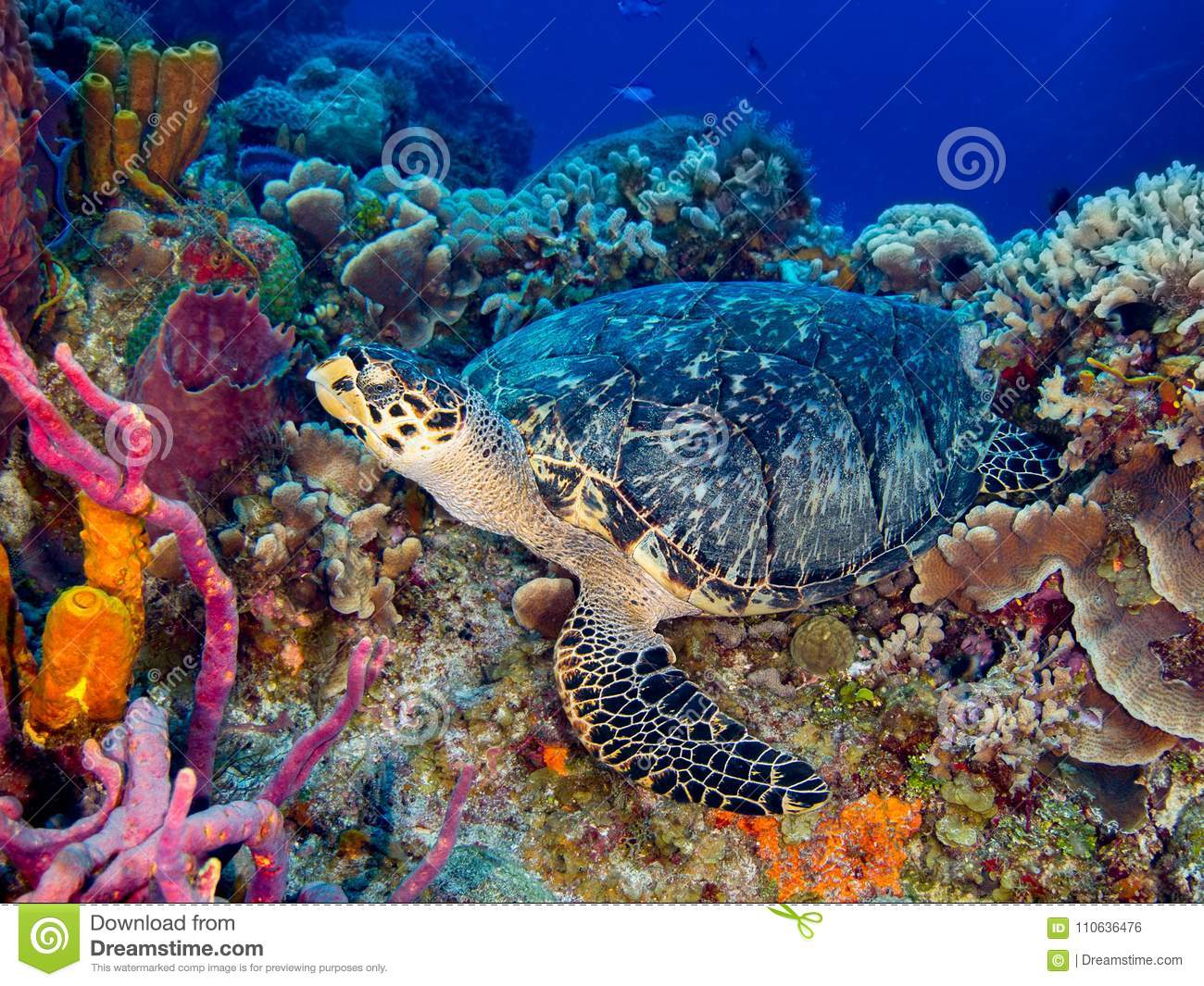 Hawksbill Turtle Resting on Colorful Coral