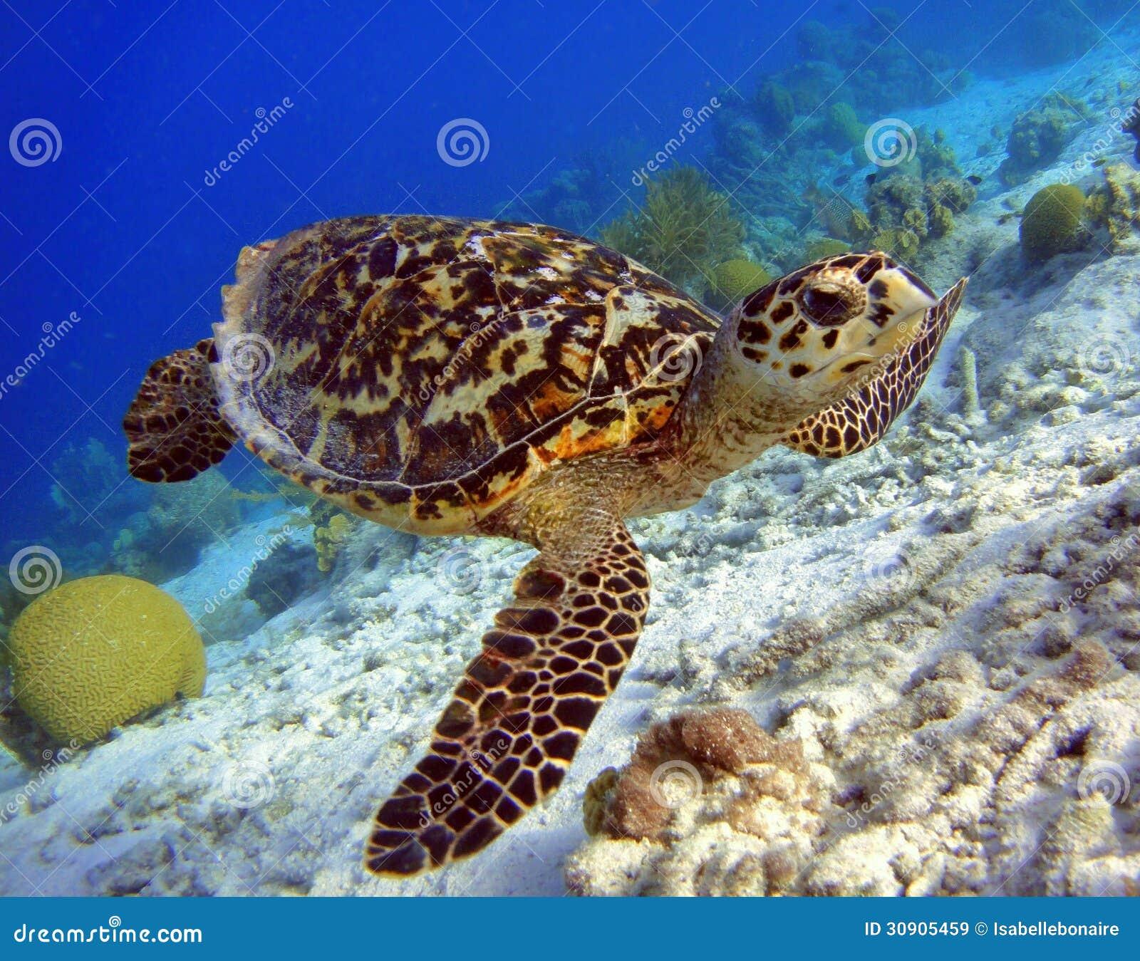 Hawksbillschildpad