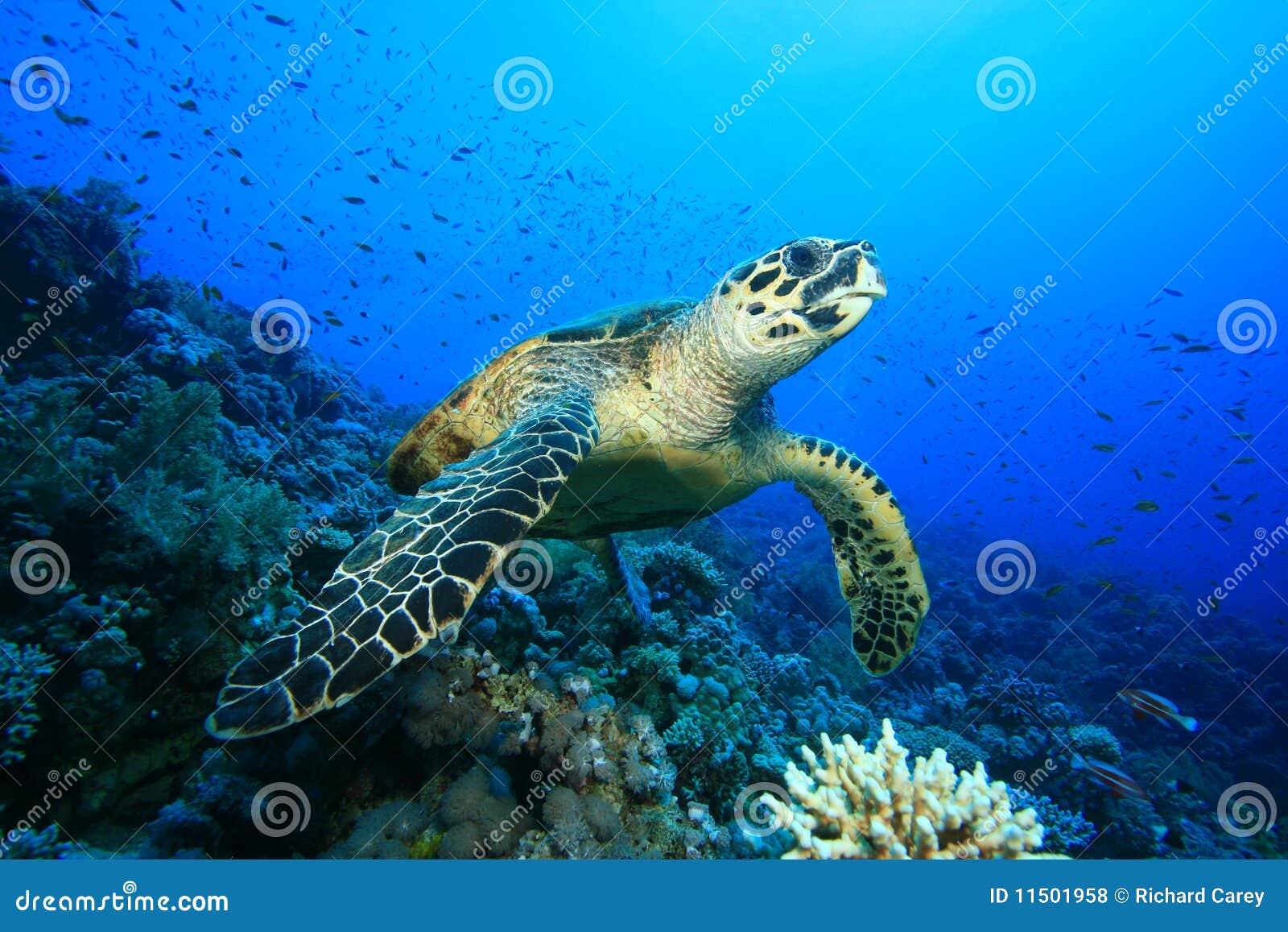 Hawksbillsköldpadda