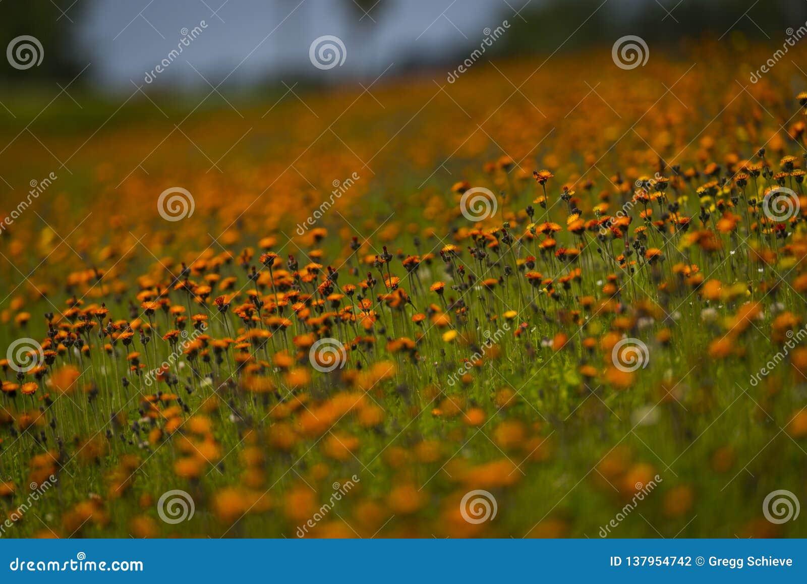 Hawkweed orange dans le Wisconsin du nord