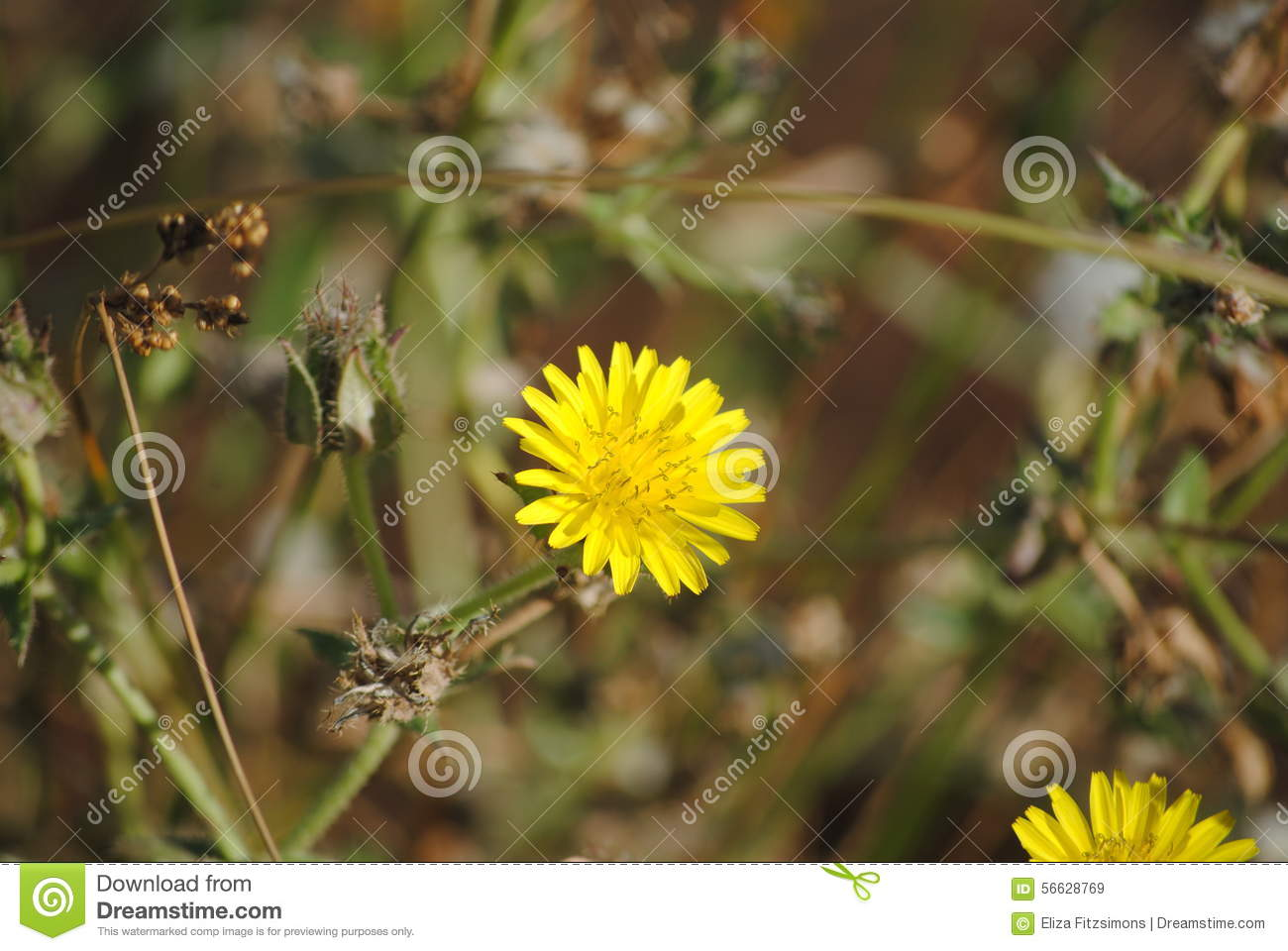 Hawkweed Yellow Weed Flower Stock Image Image Of Eucalyptus Bark